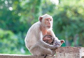 baby monkey nurses from its mother's breast milk